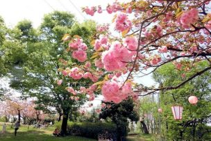 倶利伽羅八重桜まつり2017! 夜桜ライトアップは行われるの?