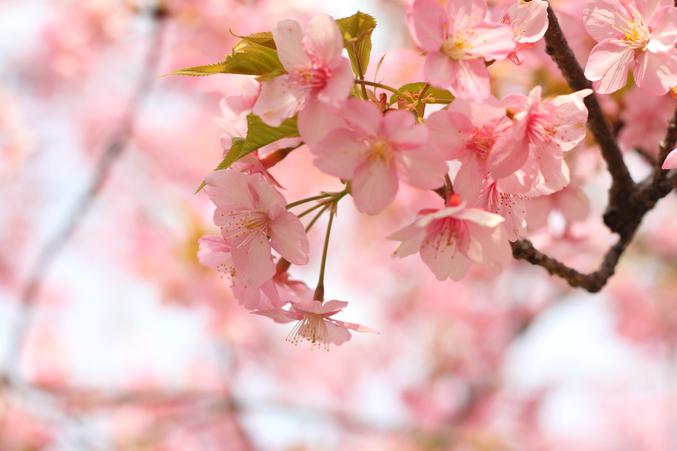 桜の開花から満開まで何日?桜の三分咲き、五分咲き、八分咲きとは?