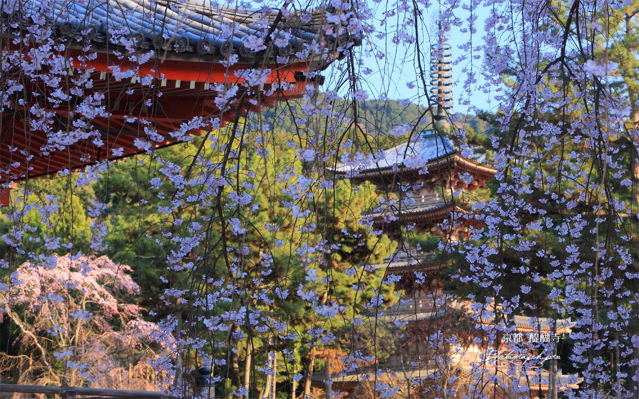 醍醐寺の桜2018年の混雑や見頃を徹底予想! アクセス方法も!