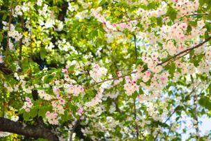 葉桜の意味は? 時期や花言葉も解説! 葉桜の季節に君を想うということについても言及!