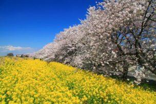 熊谷桜堤2018年の見頃はいつ?桜のライトアップやアクセス情報!