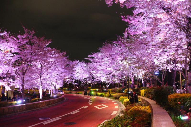 芝公園の桜のライトアップ情報は?おすすめのお花見スポットも紹介!