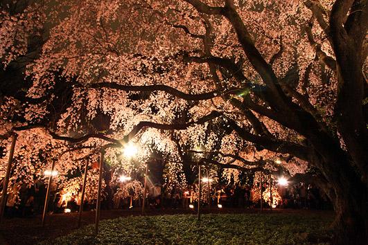 六義園の桜2018! しだれ桜の見どころは?ライトアップ情報も!