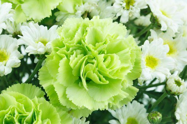緑のカーネーションの花言葉は?大切な人に贈りたい特別な色?